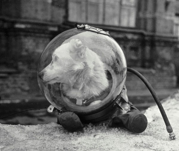 Staged photo of Belka in a space suit.