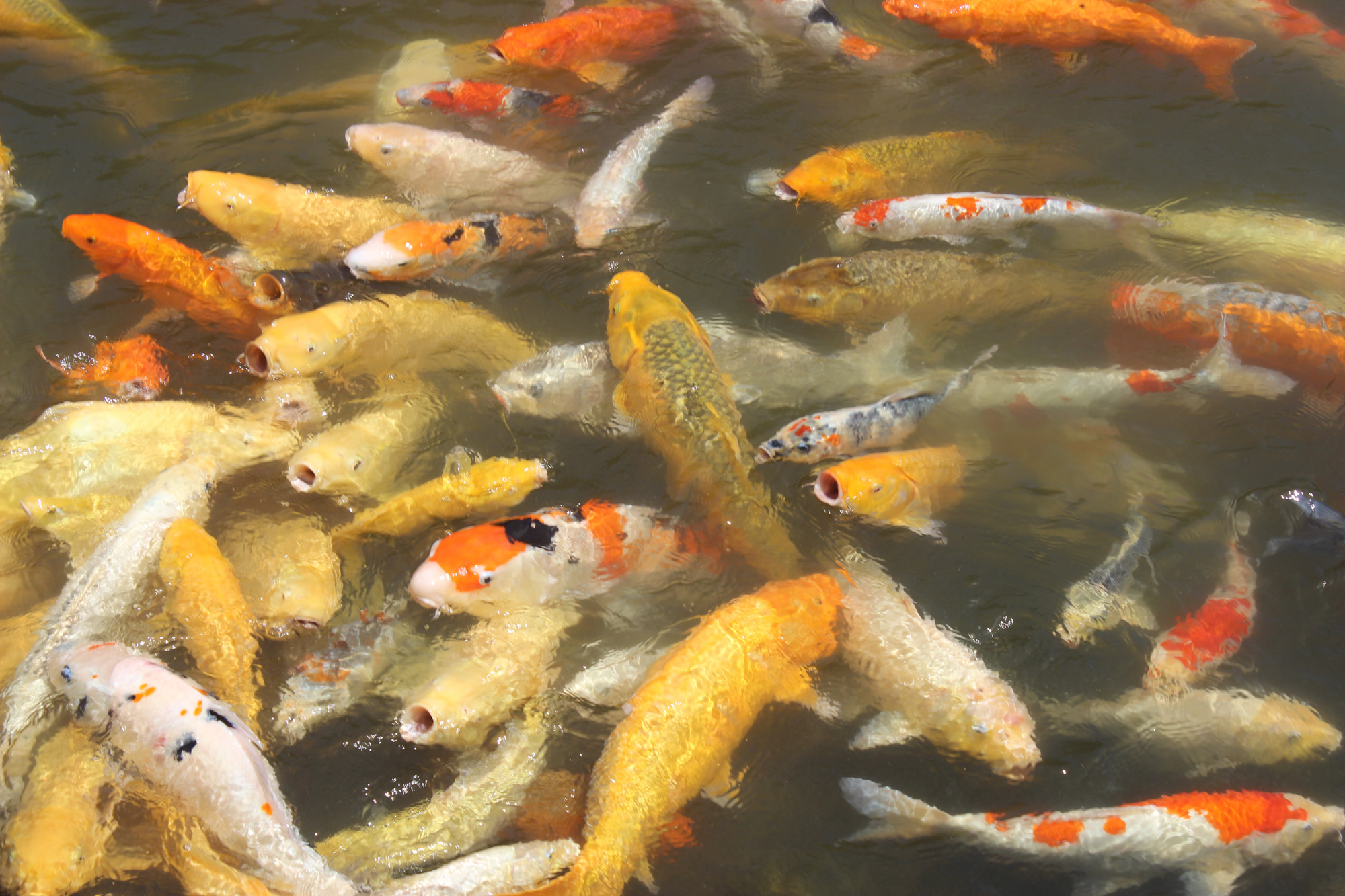 Restricted data the nuclear secrecy blog for Koi feeding